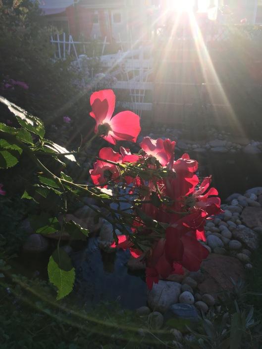 nan-roses1